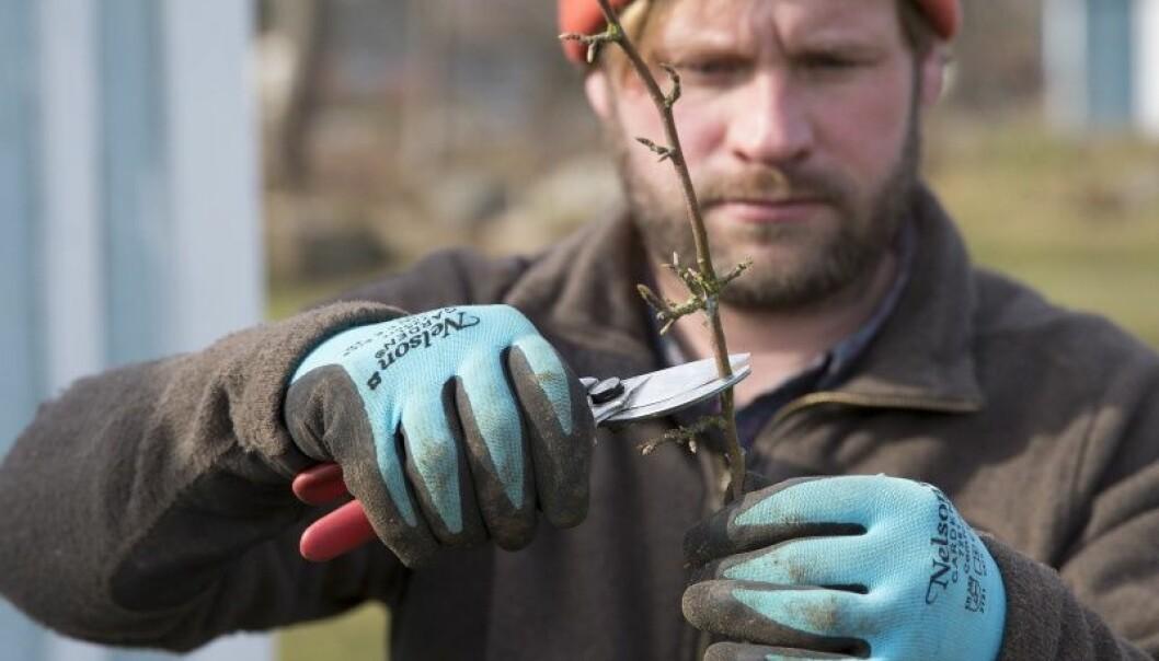 Trädgårdsmästare Henrik Hanell visar hur du beskär fruktträdet så att det får en krona.