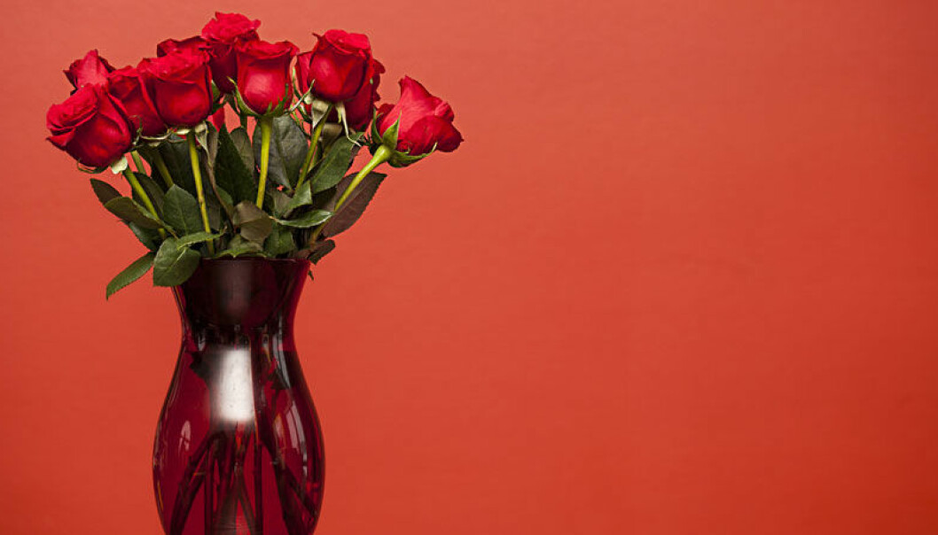 Så här sköter du rosorna – så att de överlever längre.