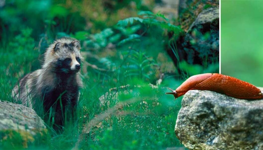 Mårdhund och mördarsnigel är invasiva arter i Sverige