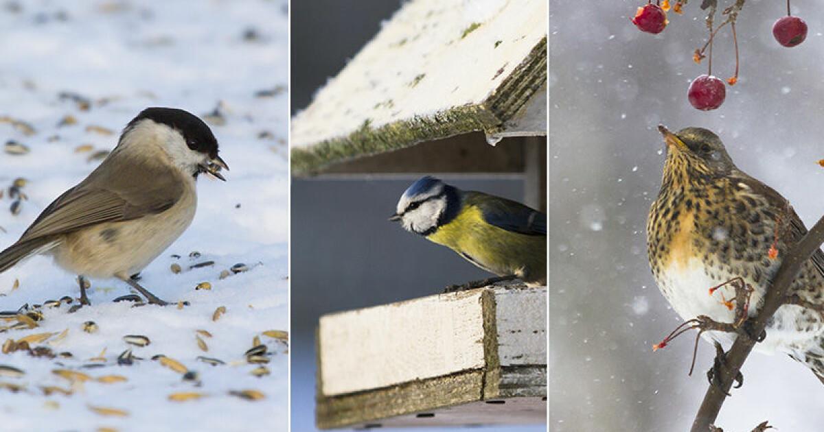 Så lyckas du med att mata trädgårdens småfåglar | Allas