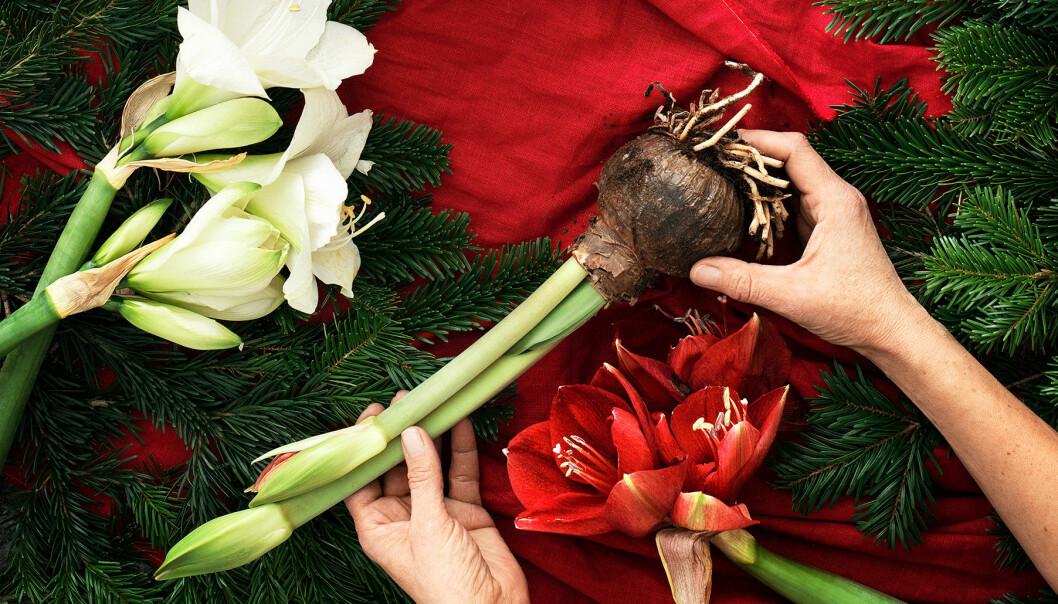 Händer pysslar med olika typer av julblommor