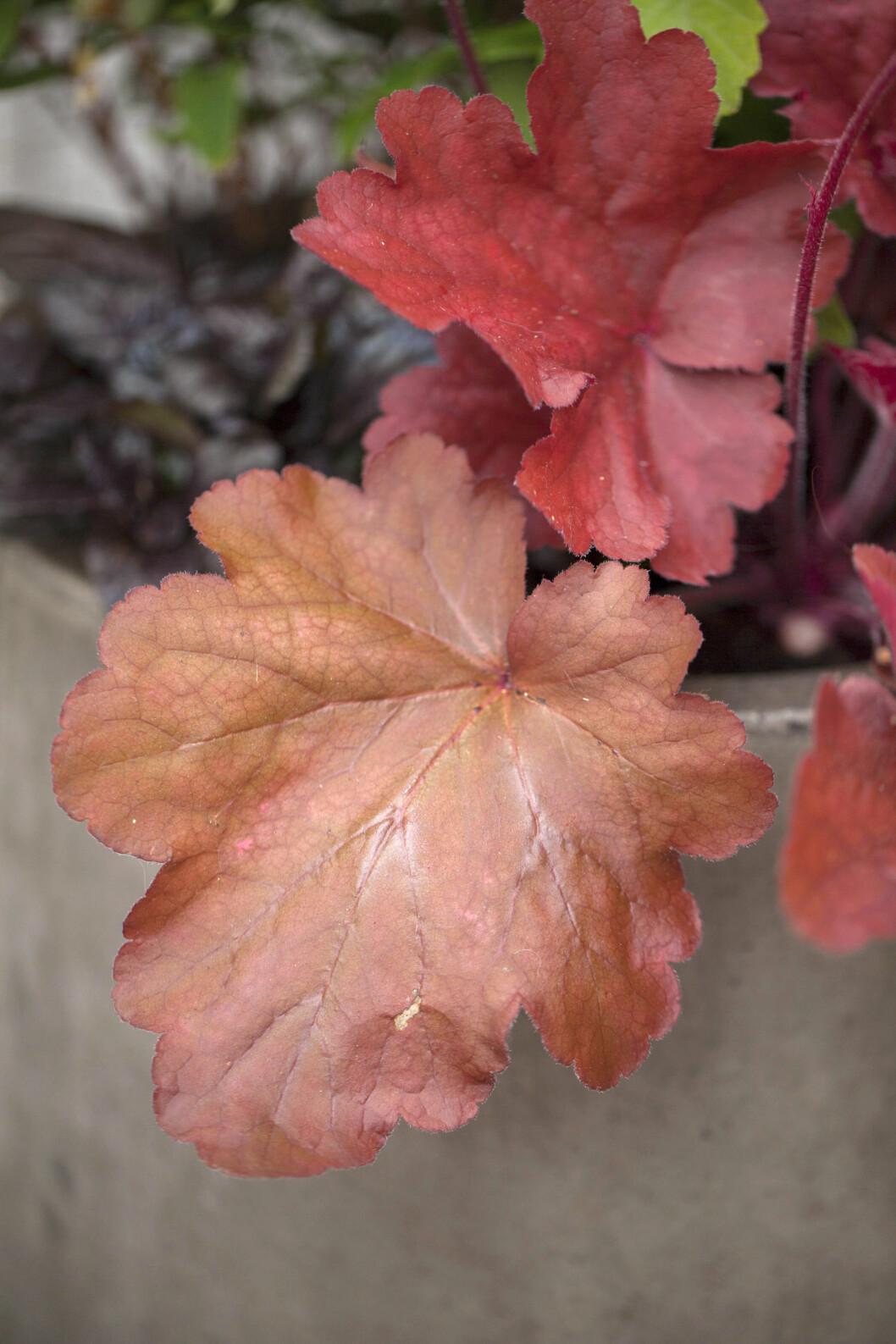 'Fire Alarm' heter denna snygga alunrot med dekorativa rödbruna blad.