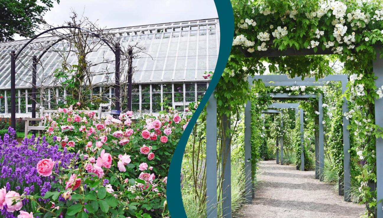 Med rätt rosor på rätt plats och smarta planteringar är det lätt att lyckas med rosorna.