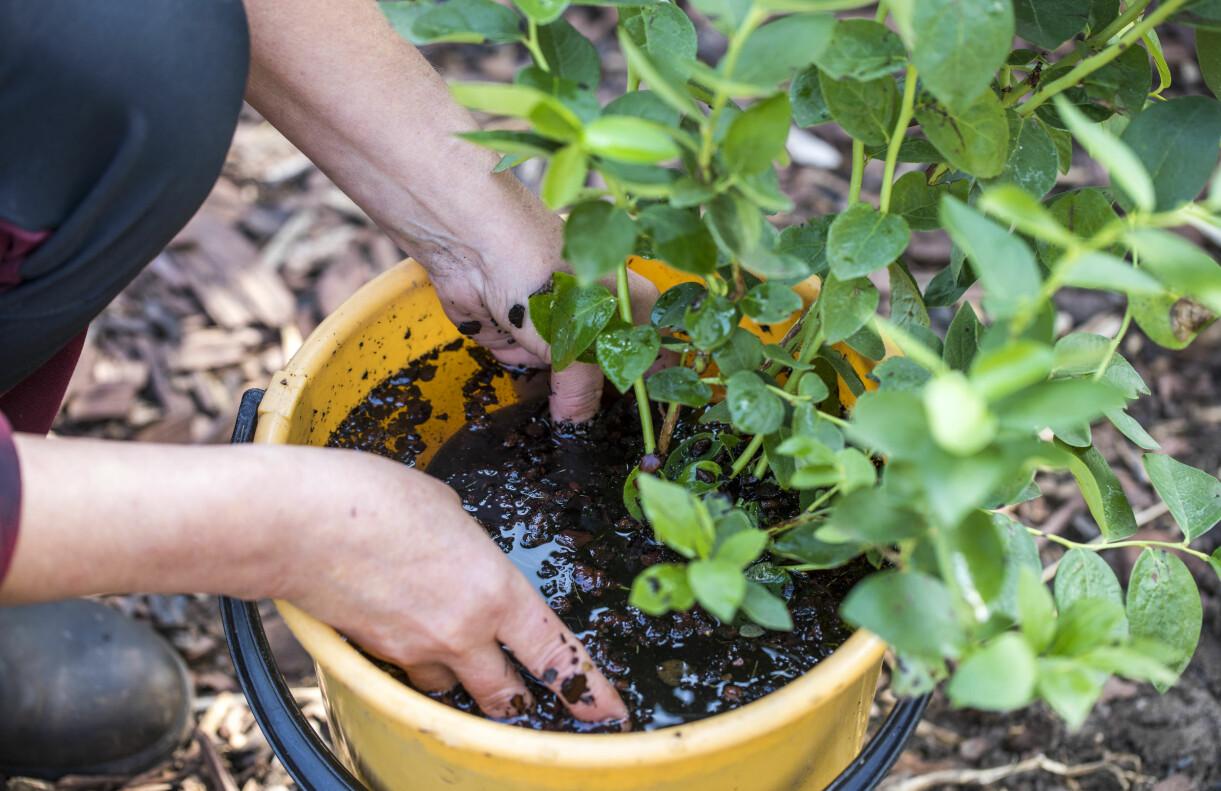 Anni genomvattnar blåbärsbuskens rotklump i en hink.