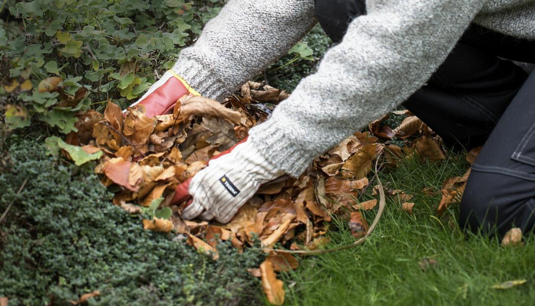 Anni Jähde använder trädgården nedfallna löv för att skydda växter under vintern.