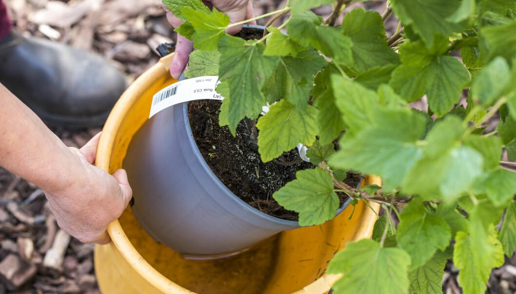 Anni Jähde visar hur du genomvattnar rötterna på din bärbuske i en hink innan du planterar den.