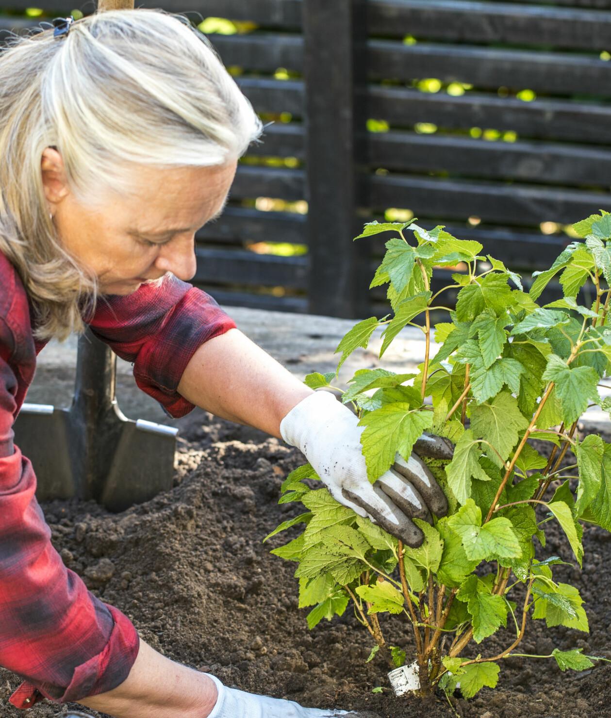 Anni Jähde visar hur du planterar din vinbärsbuske för lång, stor och riklig skörd.