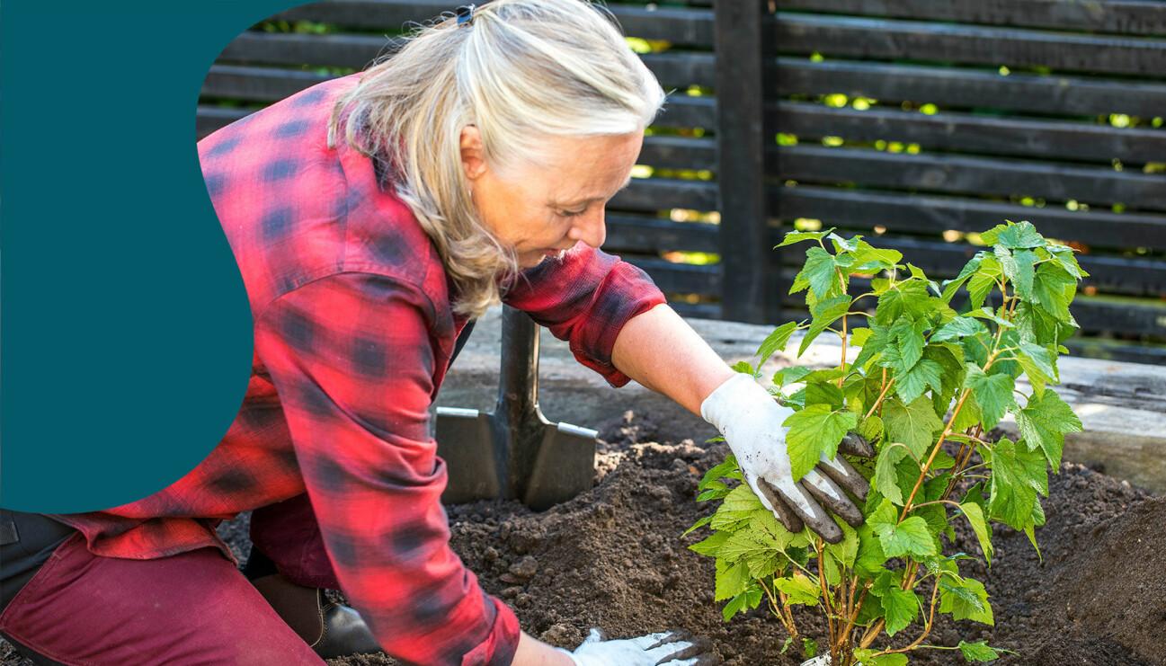 Anni Jähde visar hur du planterar vinbärsbuskar.
