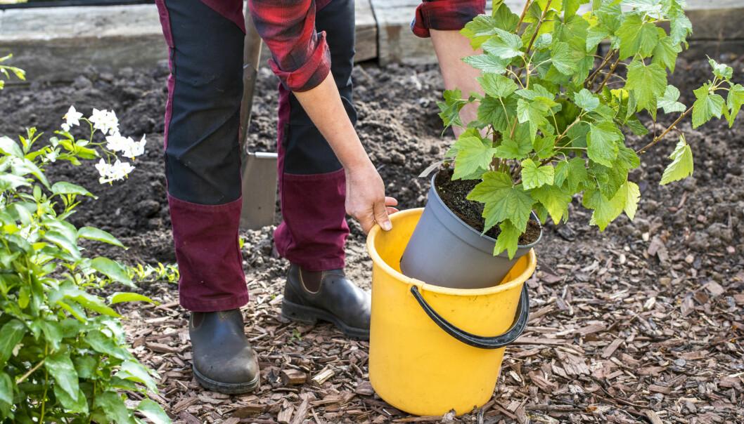 Anni Jähde visar hur du vattnar vinbärsbuskens rötter med en hink.