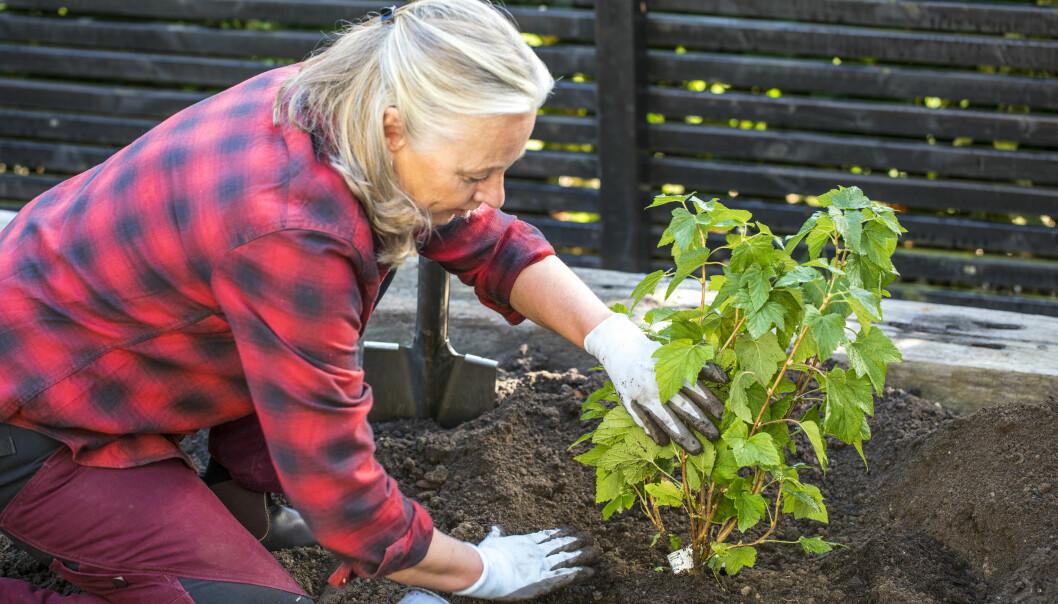 Anni visar hur djupt du ska plantera din bärbuske.