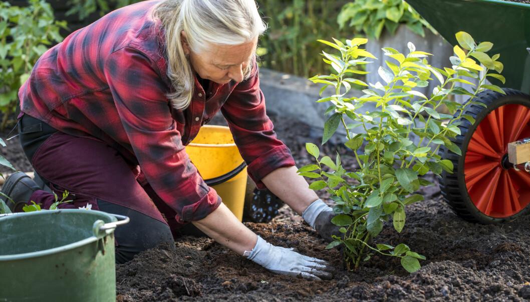 Anni visar hur du planterar din blåbärsbuske i marken.