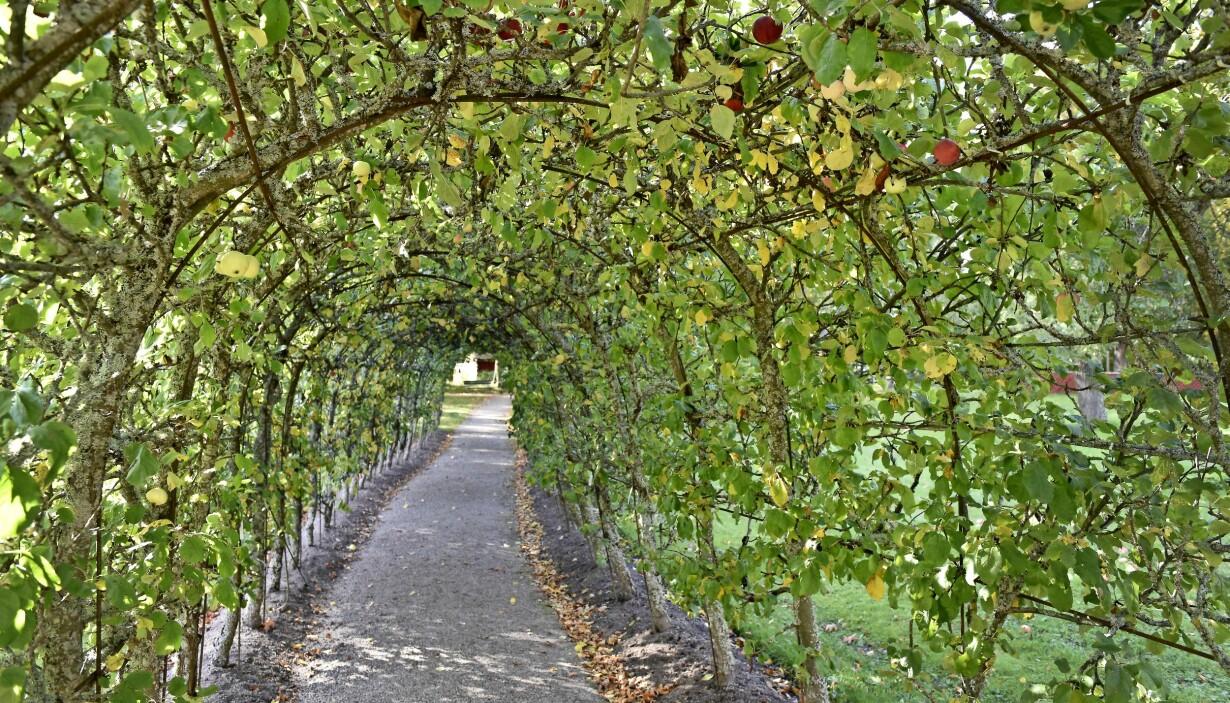 Äppelträdstunneln på Julita Gård utanför Katrineholm.