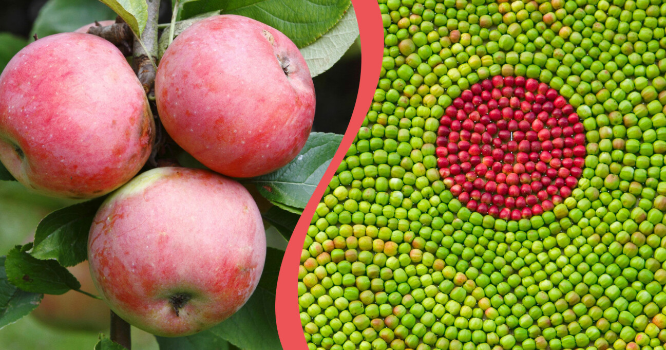 Äpplen hängande i ett träd och det lite mer ovanliga äpplen på en tavla.