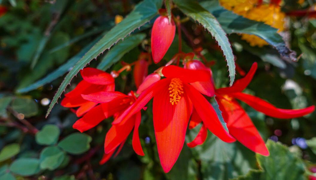 Årets sommarblomma 2020: Boliviabegonia