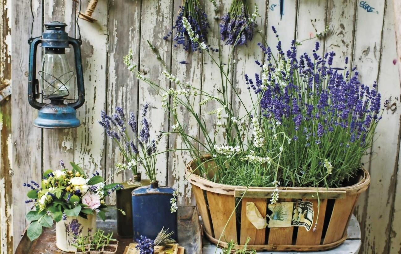 Krukplanteringar och dekorationer med lavendel.