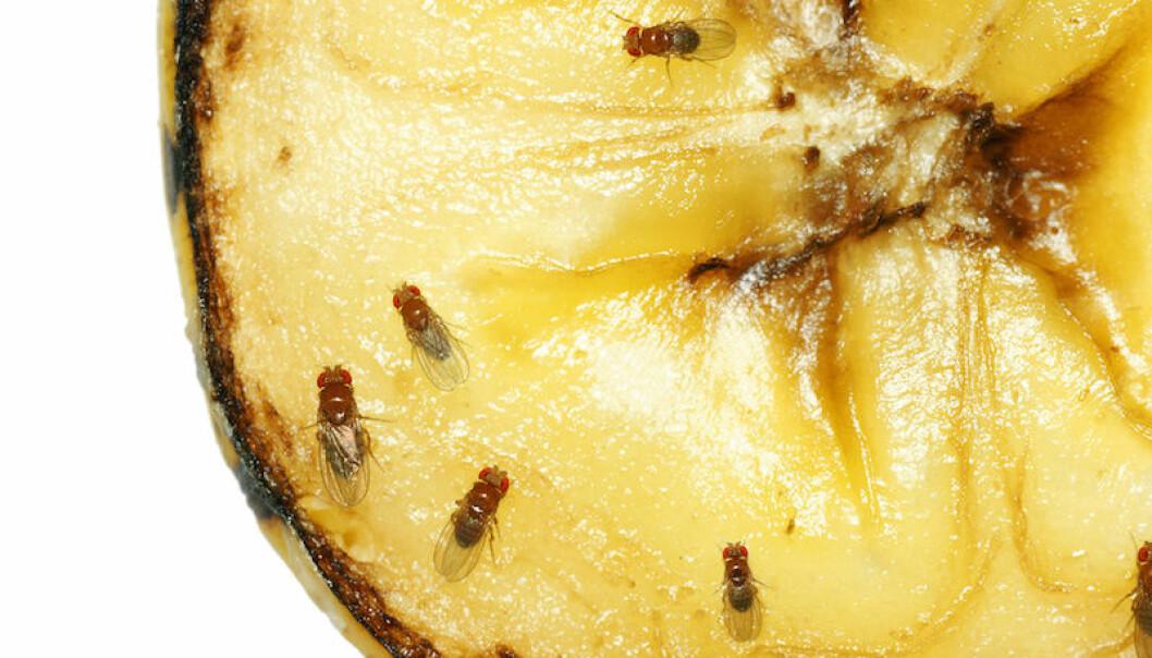 bananflugor på banan