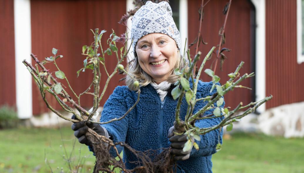 Anni Jähde håller upp buskar hon dragit upp från roten.