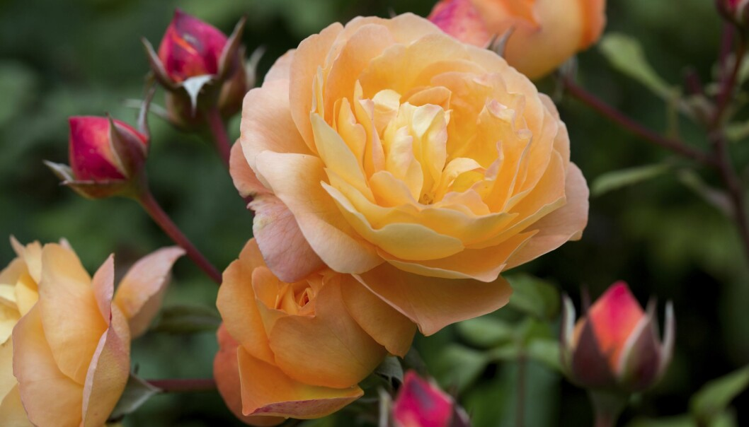 Lady Emma Hamilton är en av många rosor med kvinnors namn. Här finns berättelserna bakom namnen.