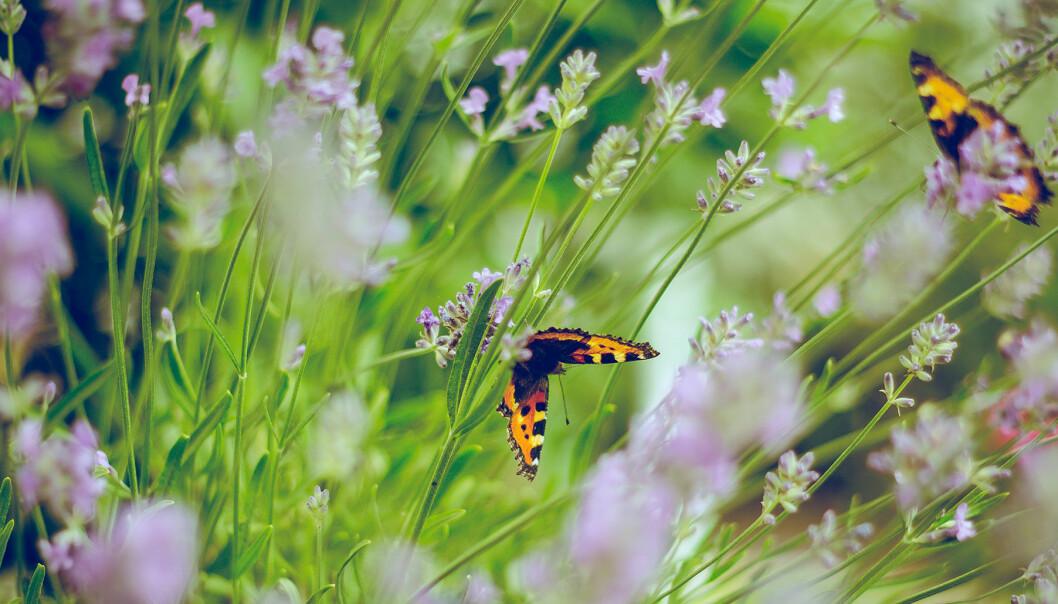 En del av en trädgård med blommor och fjärilar.