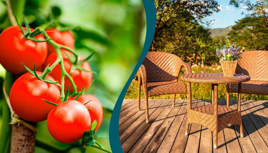 Tomater får mer smak av bikarbonat och utemöbler i trä, rotting och plast blir som nya med bikarbonat.