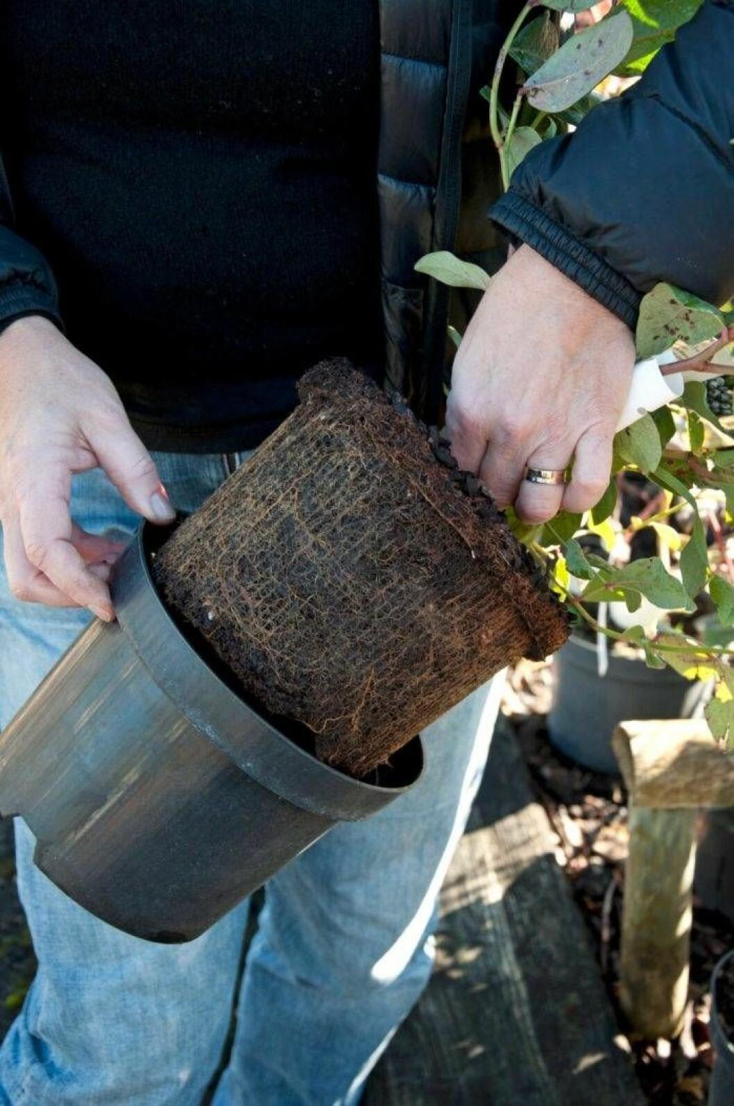 Blåbärsplantering – trädgårdsmästaren inspekterar rötterna