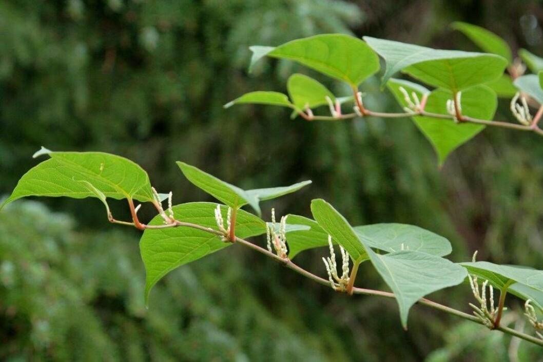 Bladen på Parkslide, Fallopia Japonica
