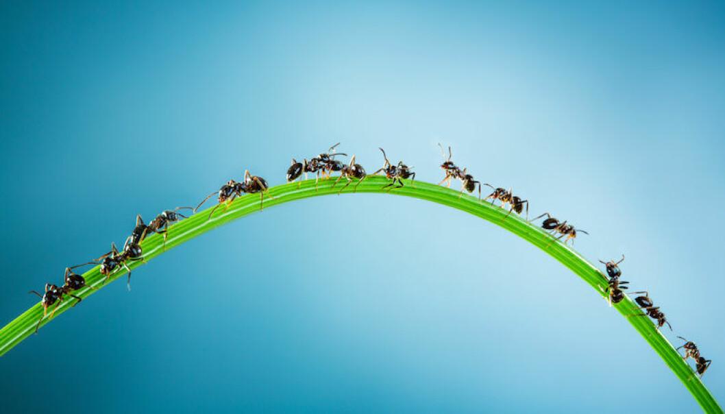 Få bort myror