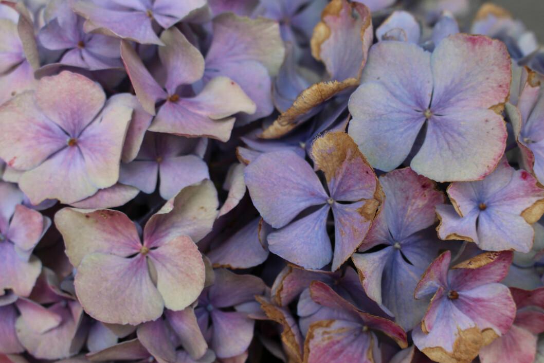 En blomboll av hortensian består av många små blommor.