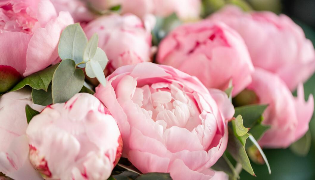 Blommande rosa perenner