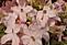 Blomstertobak 'Purple Appelblossom'