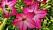 Blomstertobak 'Purple Bicolor'