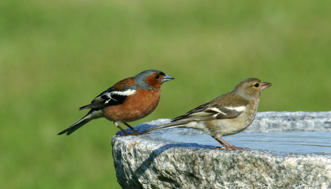 Två bofinkar, en hane i rött och en hona i gråbrunt, sitter på ett fågelbad.
