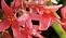 Boliviabegonia, årets sommarblomma 2020