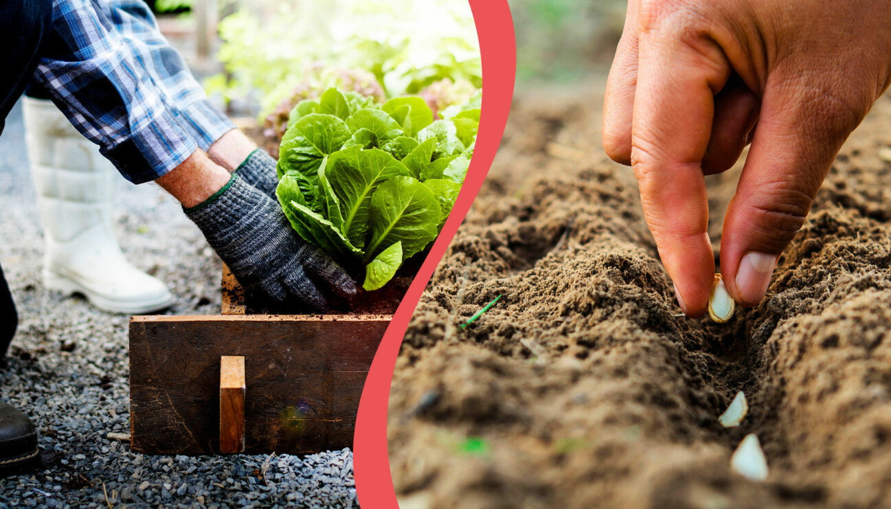Delad bild. Till vänster: En person skördar från sin pallkrage. Till höger: En person planterar pumpafrön för hand.