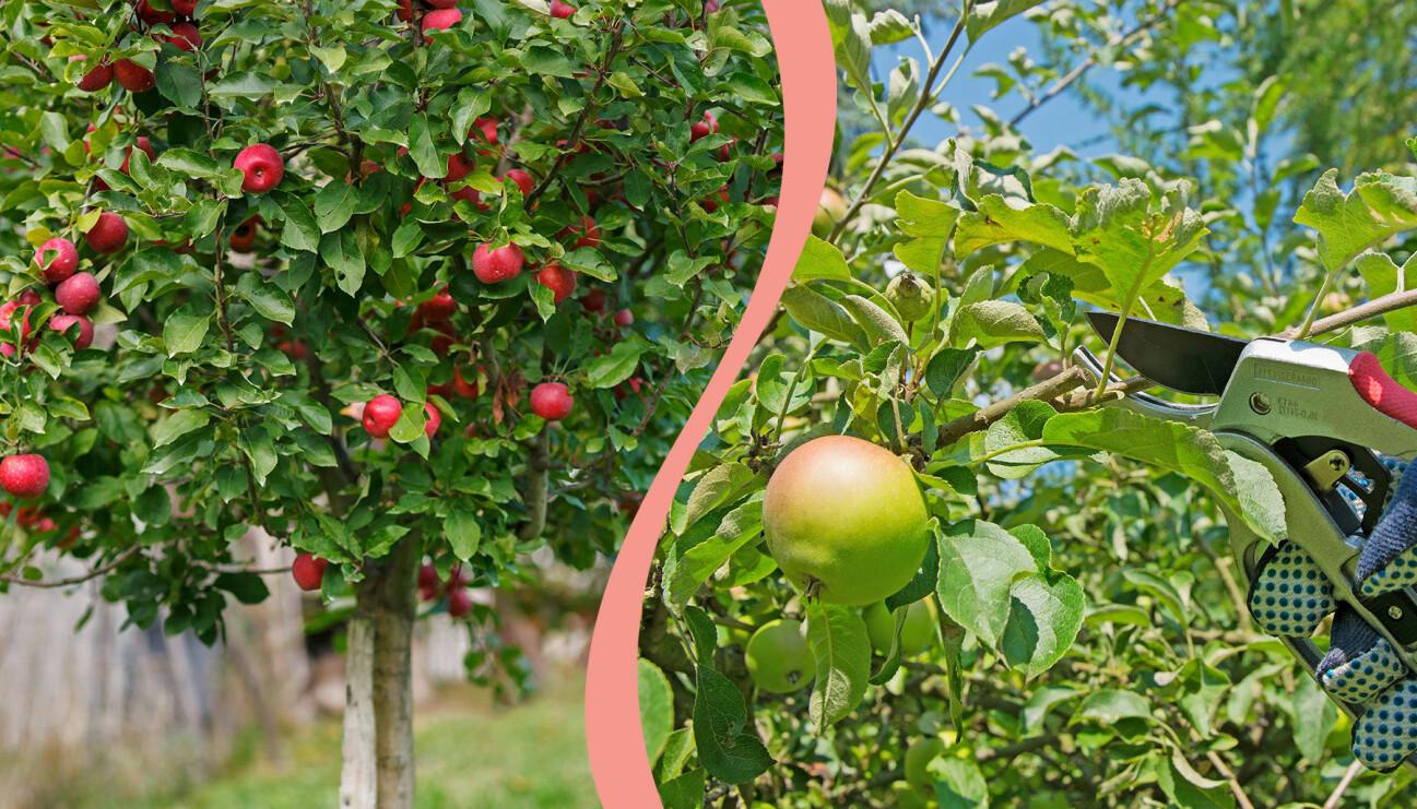 Ett äppelträd till vänster. TIll höger beskärning av äppelträd.