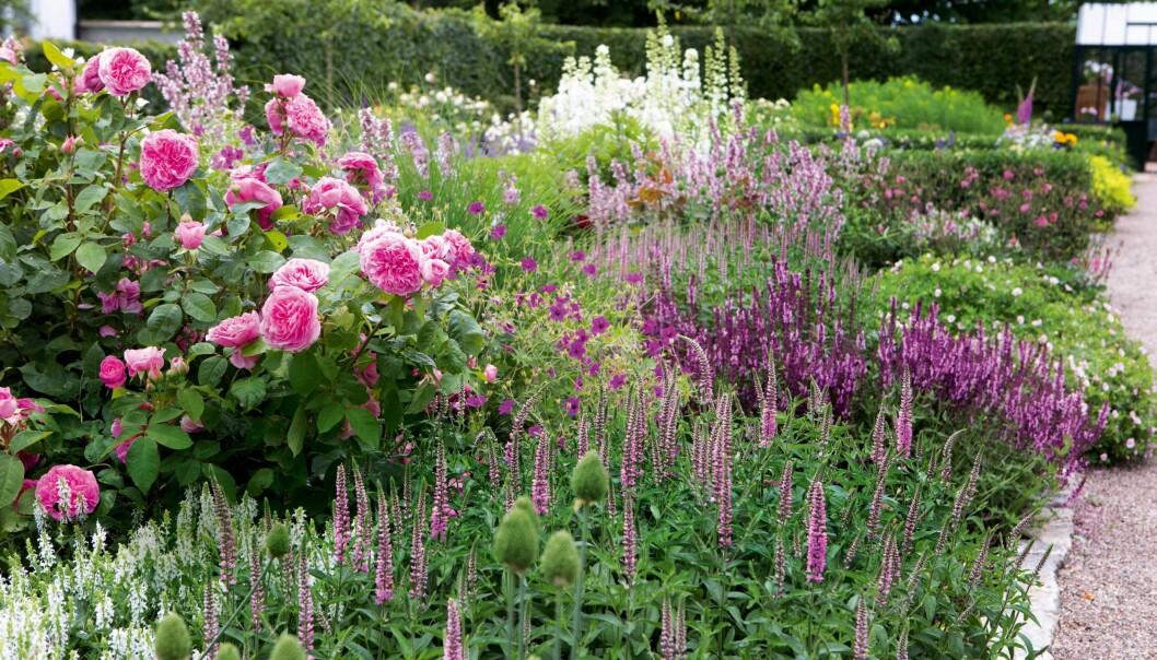 Bommande perenner och rosor i juli och augusti.