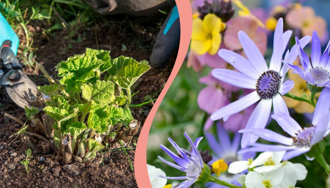 Delad bild. Till höger: Stockrosor förbereds inför säsongen. Till höger: De första blommorna tittar upp på våren.