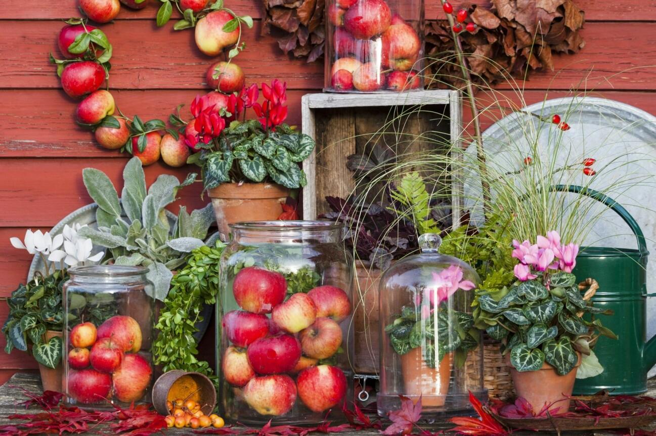 Flera vackra höstpynt. Kransar av äpplen och av torkade blad. Röd och vit cyklamen i kruka. Äpplen i glasburkar.