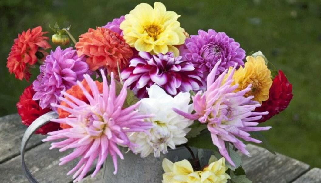 En vacker dahliabukett. Blommorna överlever en vecka i vas.