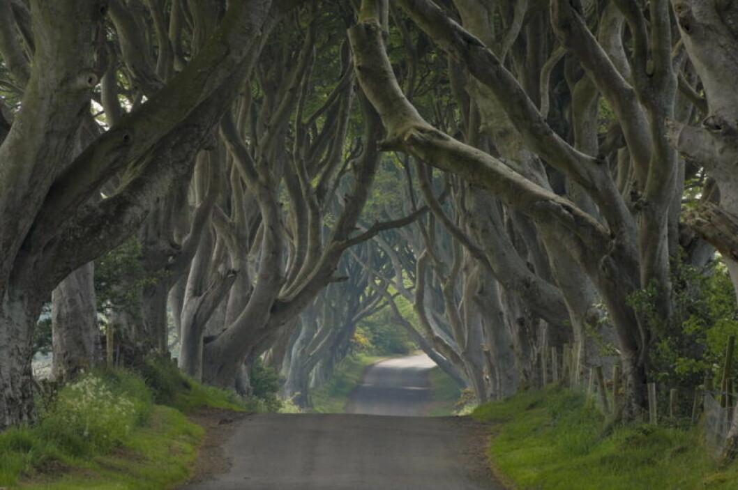 En bild på allén Dark Hedges, som finns på Nordirland.