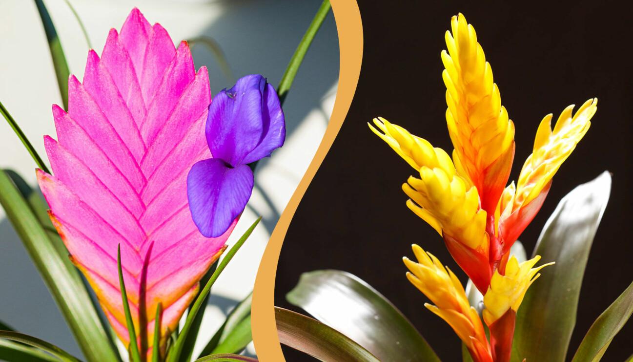 Delad bild på två exotiska krukväxter. Till vänster: Väktaren i tornet. Till höger: Papegojstjärt.