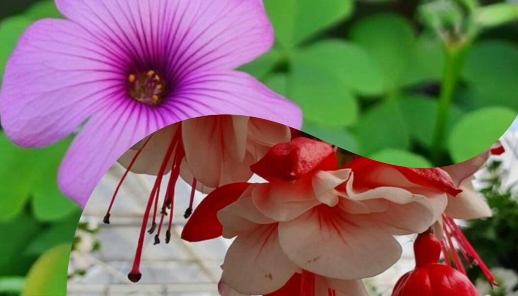 Delad bild på två olika blommor. Över: En oxalis. Under: En fuchsia