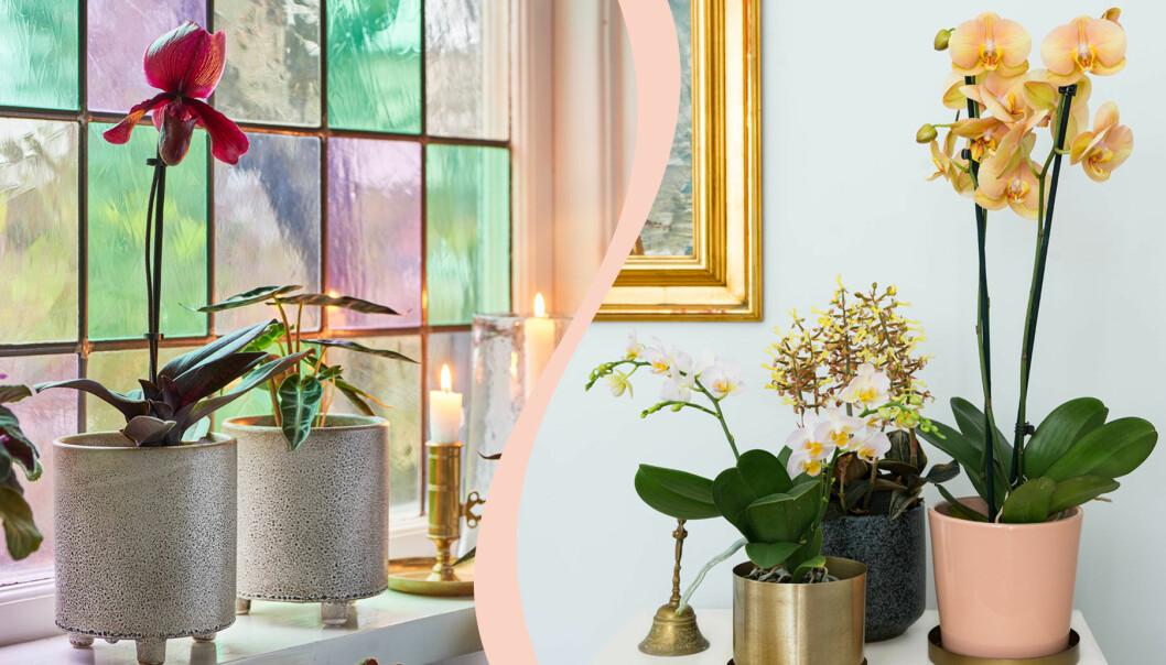 Delad bild på två olika typer av orkidéer.