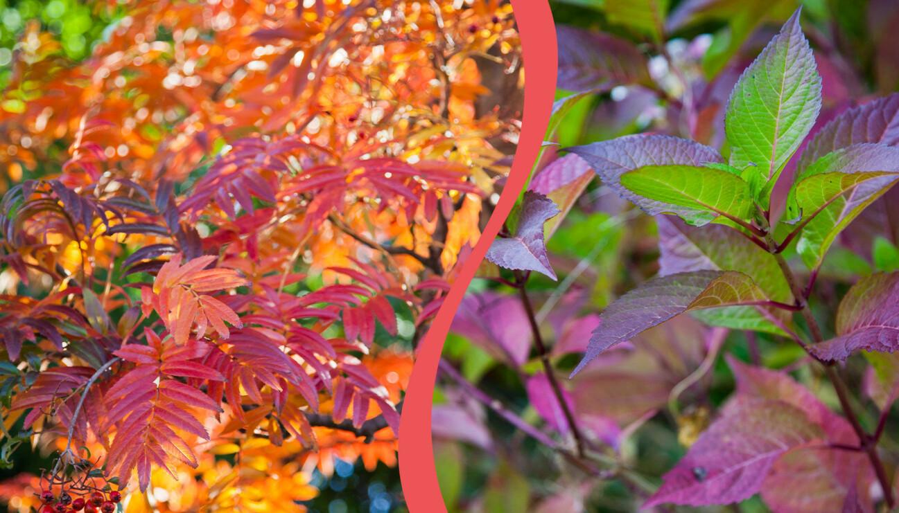 Delad bild på vackra höstlöv. Till vänster: Ullungrönn. Till höger: blåbärsbuske på hösten.