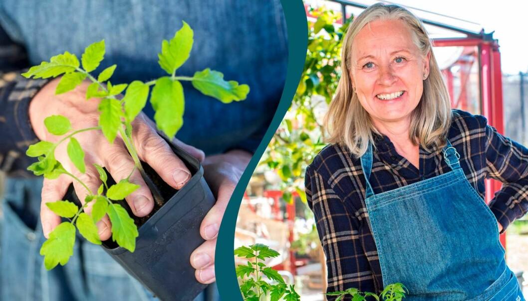 Delad bild. Till vänster: Anni Jähde trycker på en tomatplanta som ska planteras om. Till höger: Anni Jähde.