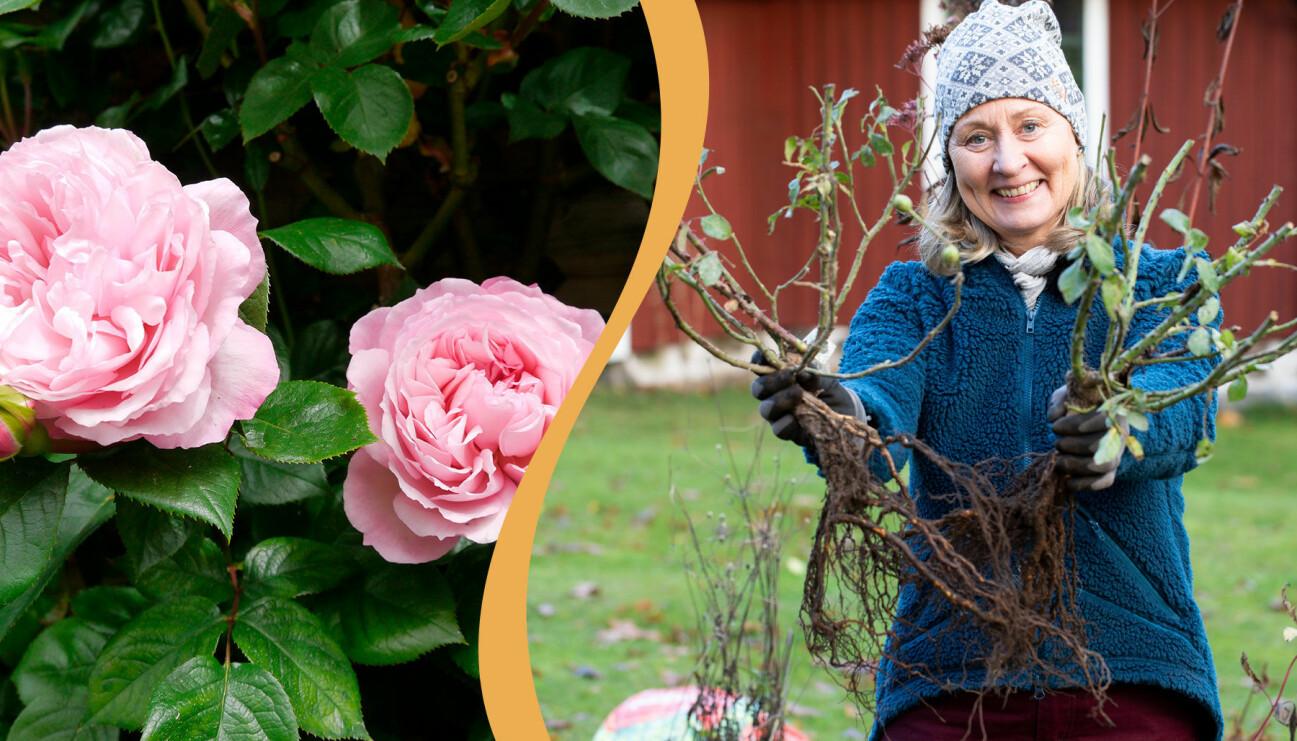Delad bild. Till vänster: Austinrosen 'The Generous Gardener'. Till höger: Anni Jähde med en buske barrotade rosor.