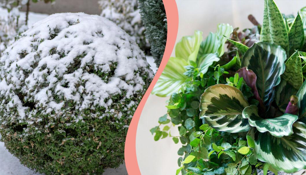Delad bild. Till vänster: Buxbom under snö. Till höger: Gröna och trendiga krukväxter.