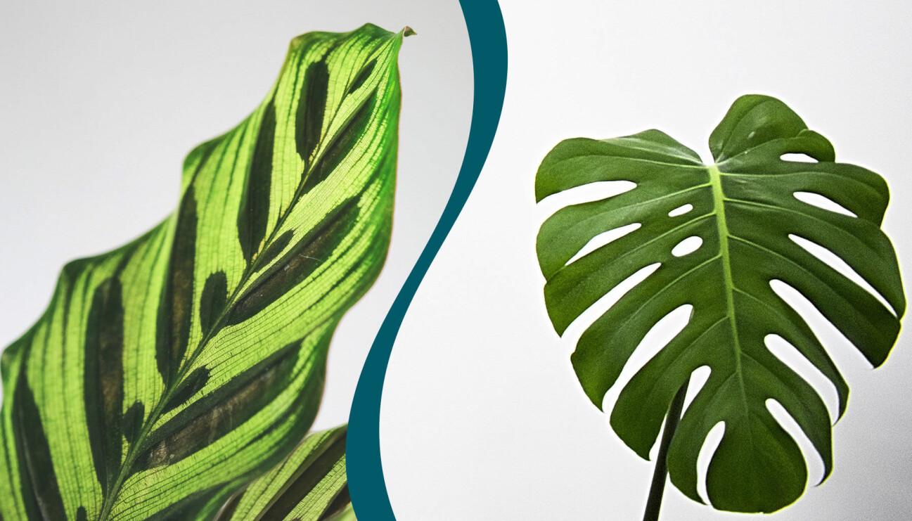 Delad bild. Till vänster: En stickling en kalatea. Till höger: En stickling av monstera.