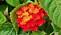 Eldkrona 'Bloomify Red'