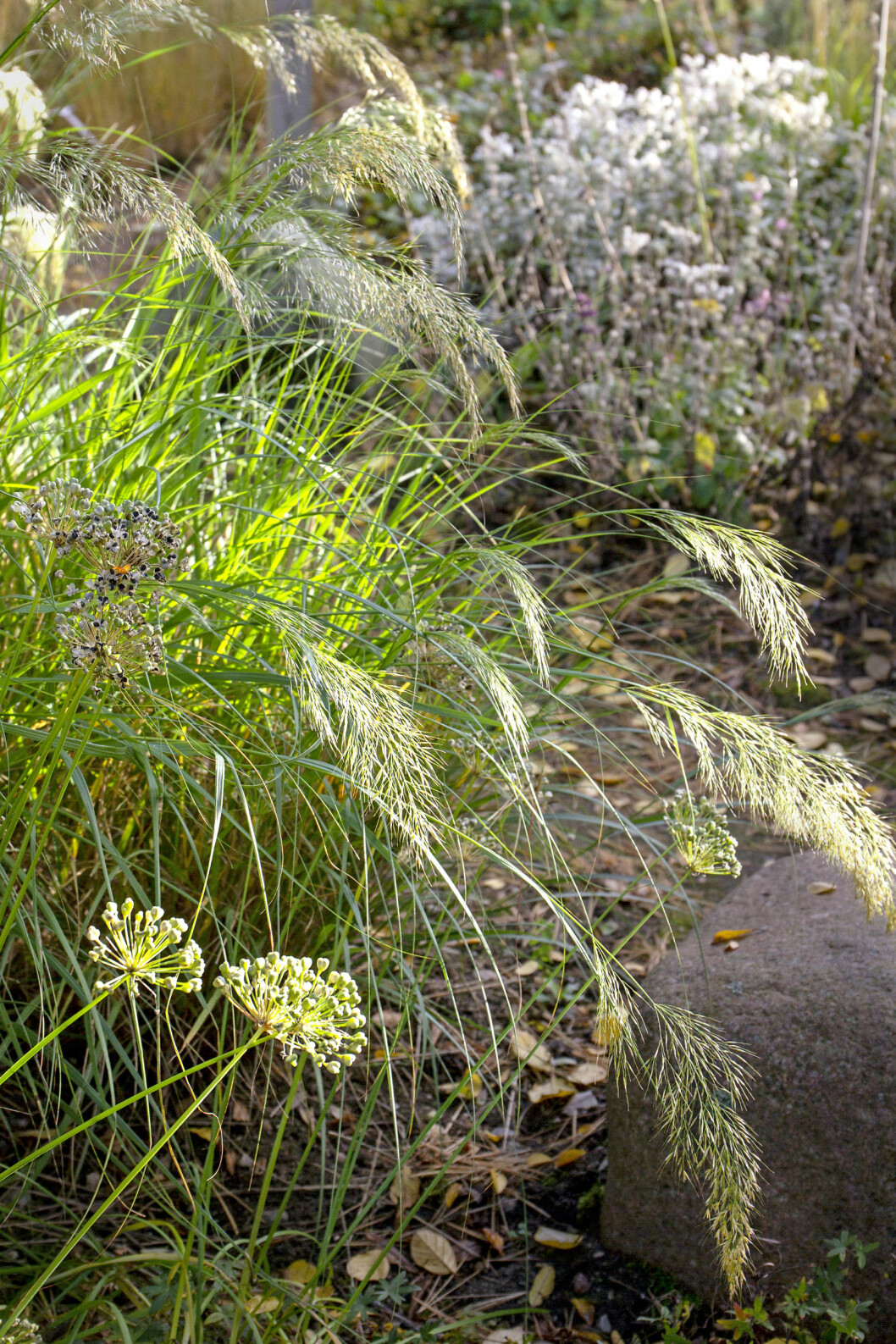 Eleganta silvergräset, Achnatherum calamagrostis, är mycket dekorativt. Blir ca 110 cm högt.